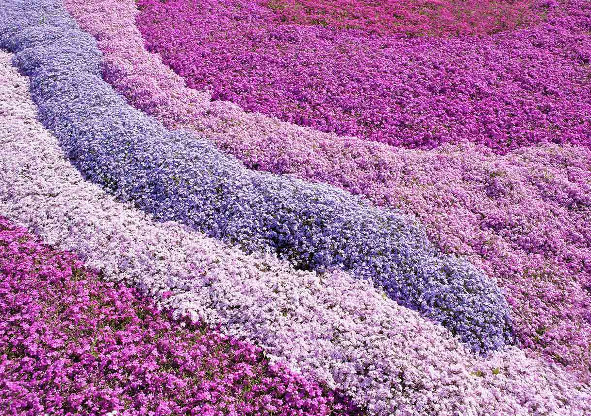 carpet of pink and purple creeping phlox
