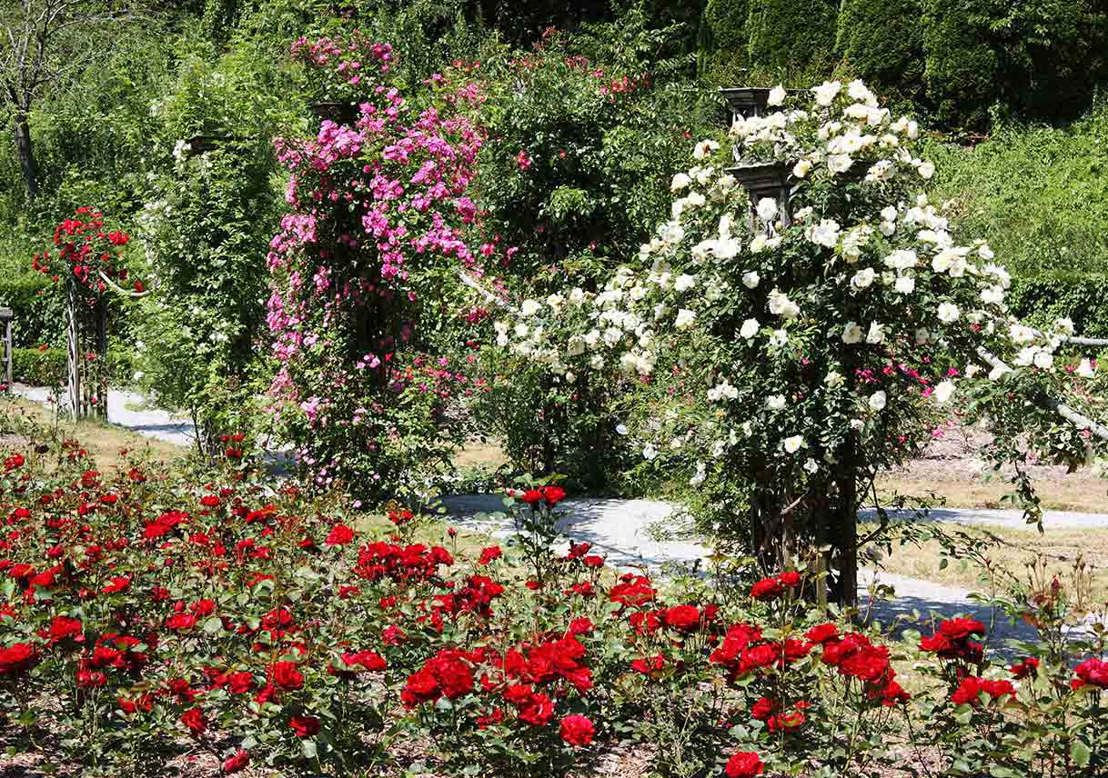 pink and white climbing roses behind a bed of red roses in a rose garden
