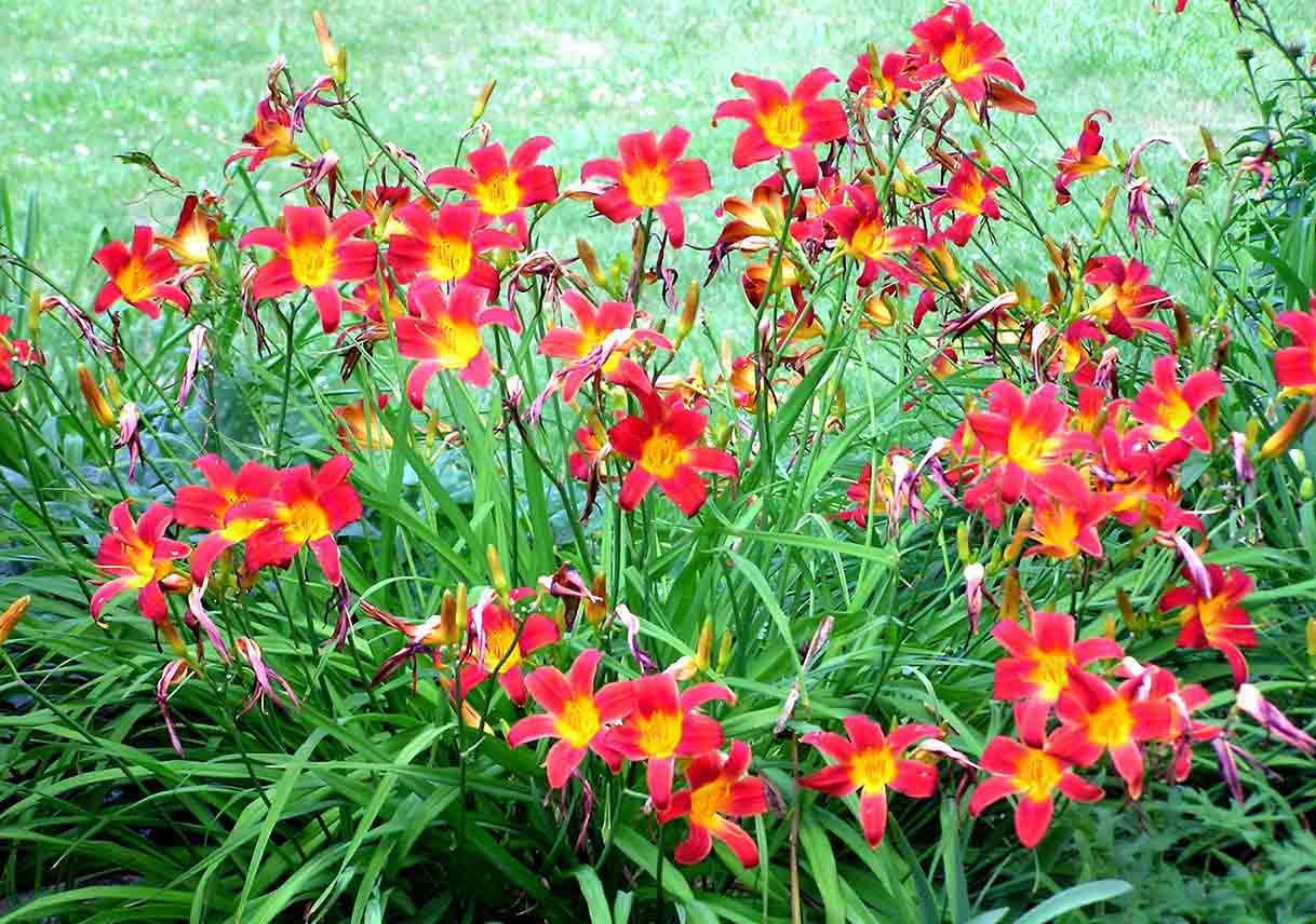 red-orange daylilies