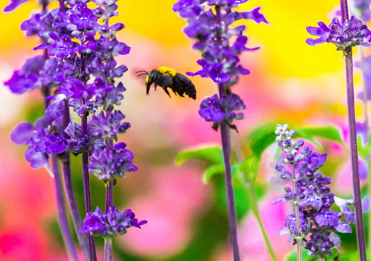 bee flying near purple flowers