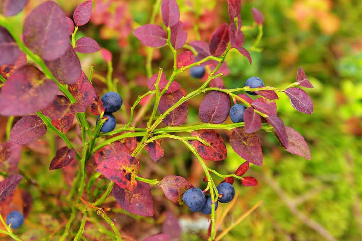 Ripe blueberries on bush in autumn