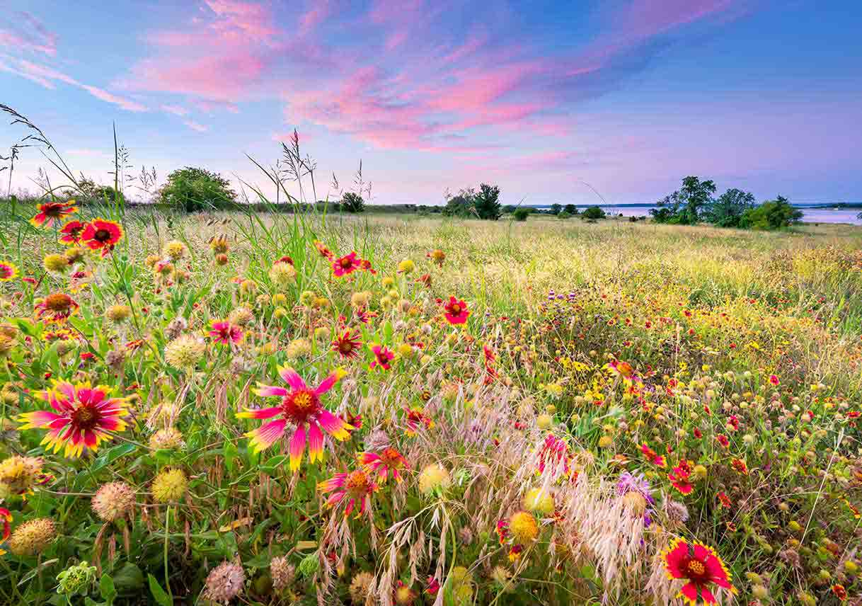 field of wildflowers at sunrise