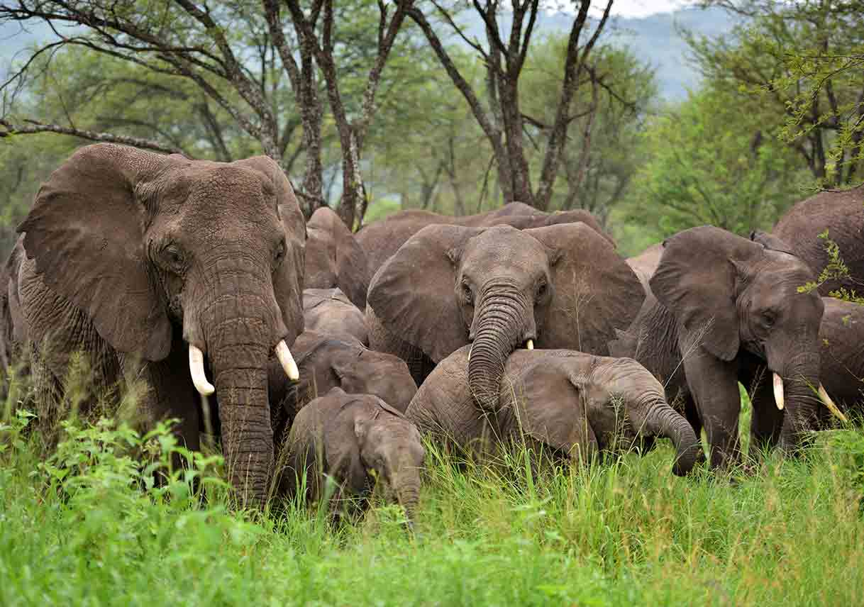 small elephant herd