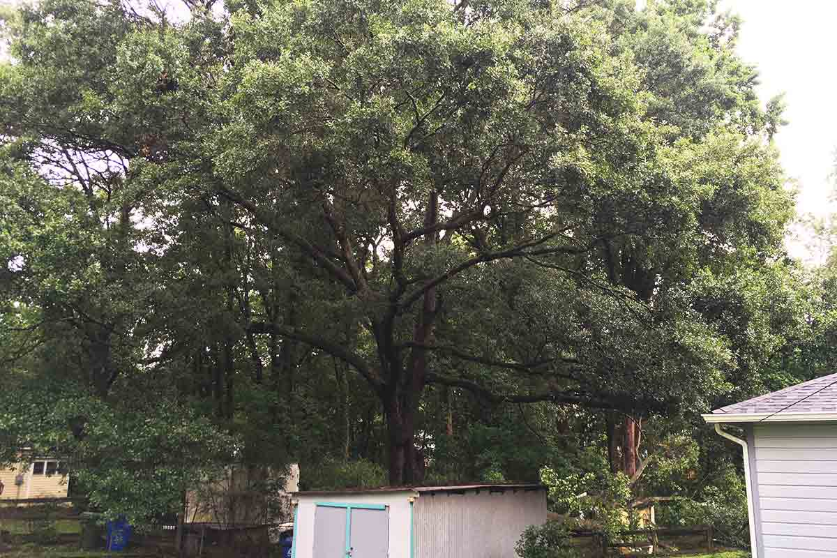 wide shot of a very large tree behind a small blue shed