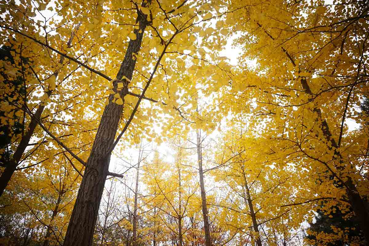 yellow Ginko trees