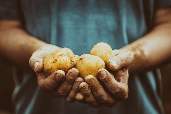 Freshly harvested potatoes held in hands