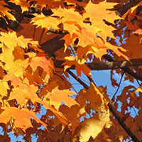 orange sugar maple leaves