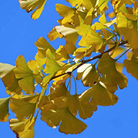 yellow gingko tree leaves