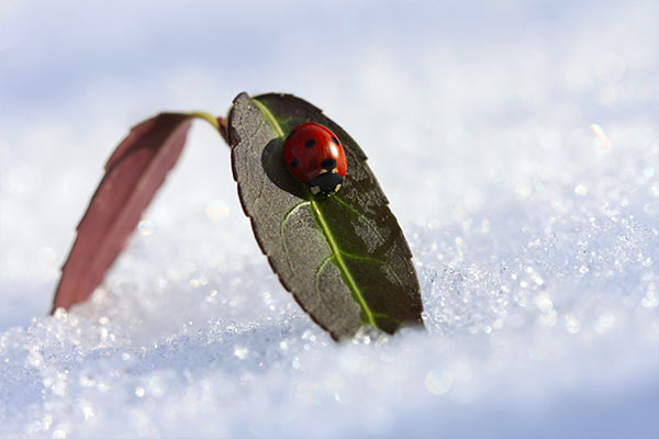 ladybug on a leaf in snow