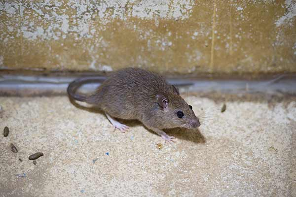 small brown rat in bathroom