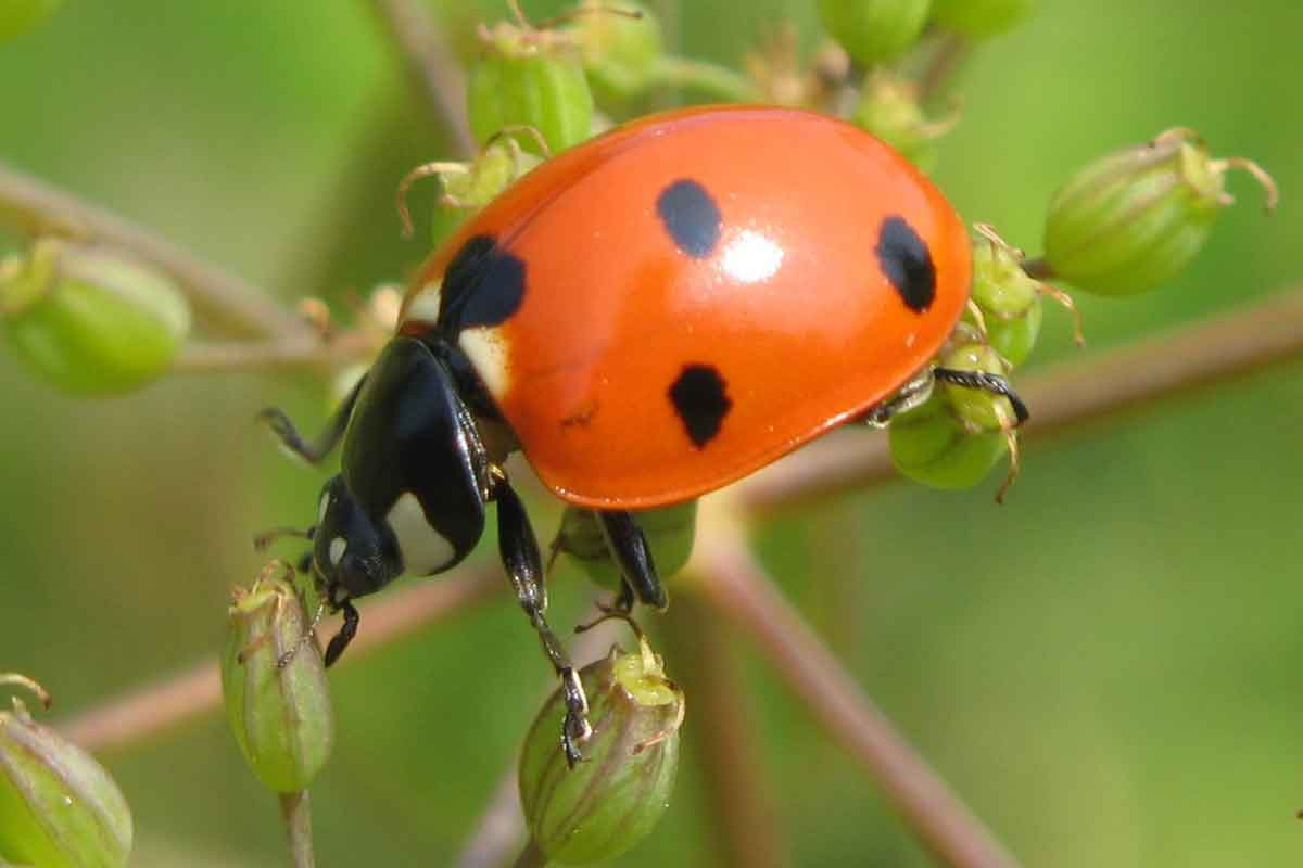 closeup of lady beetle on plant
