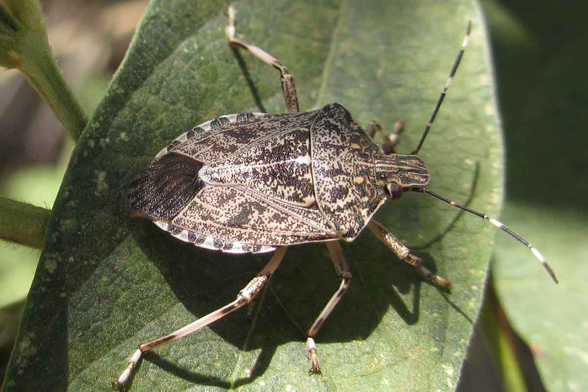 closeup of stink bug on leaf