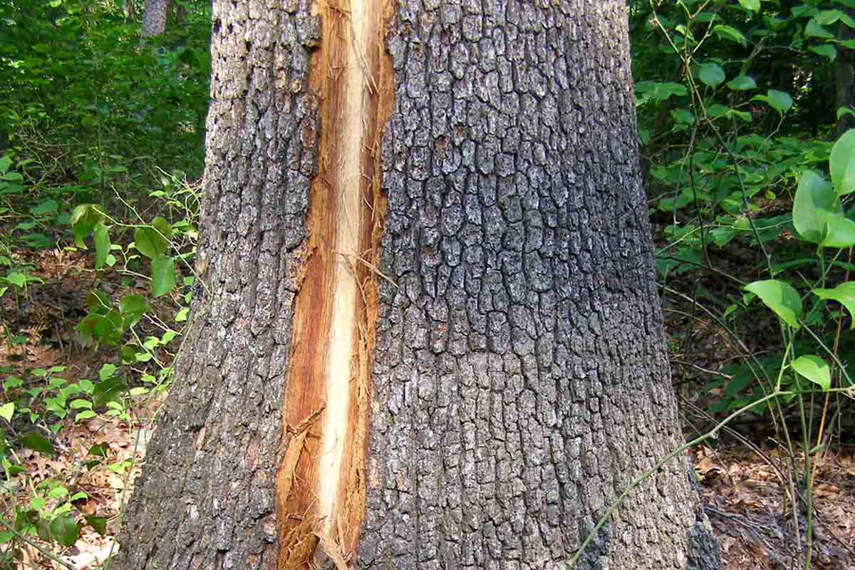 lightening strike on tree base