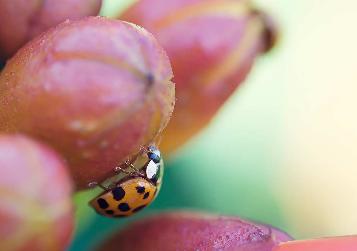 Asian lady beetle on a berry