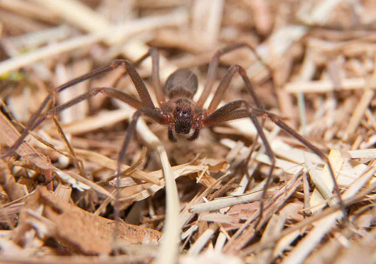 brown recluse camouflaged in winter grass