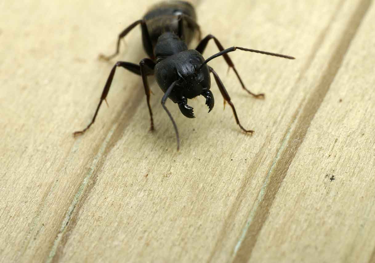 carpenter ant in wood background