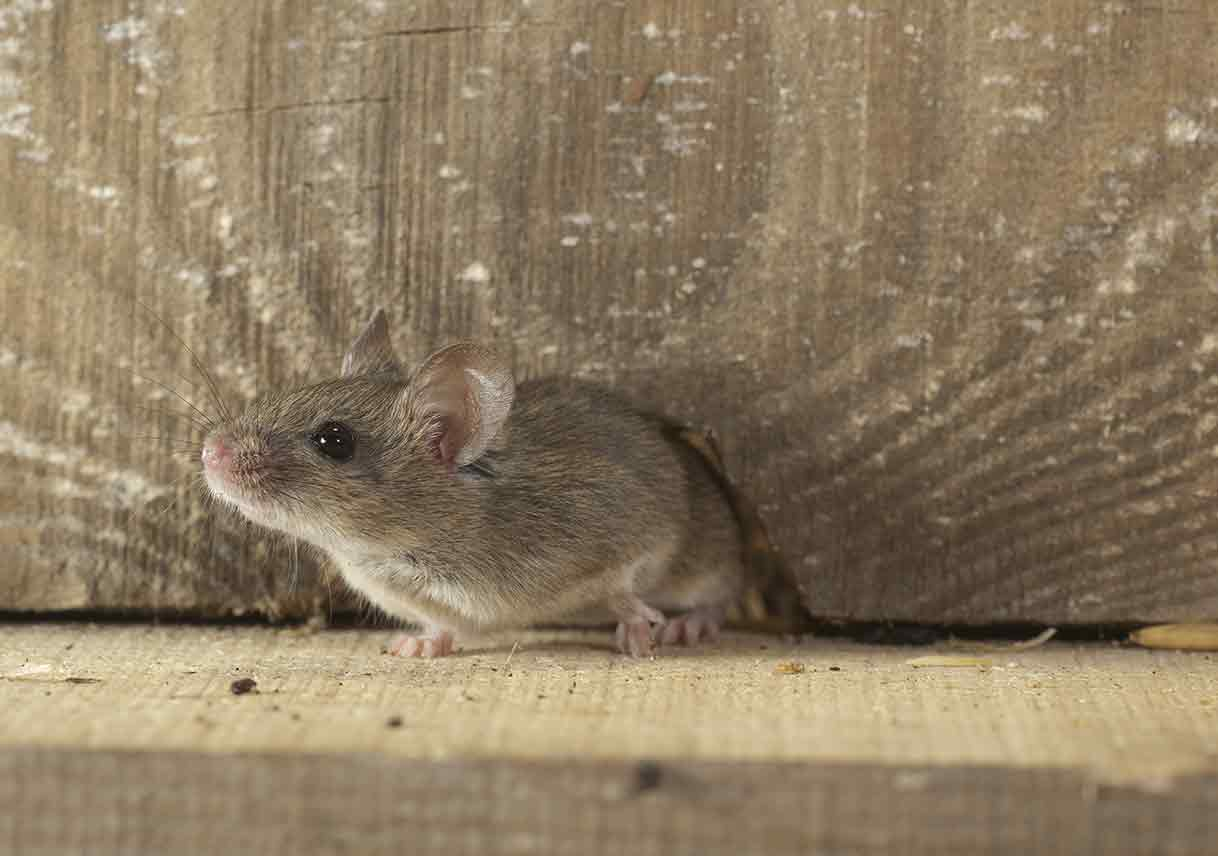 mouse in attic wall