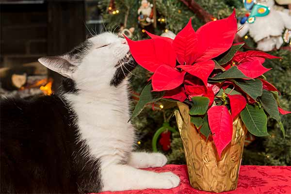 Black and white cat nipping at potted poinsettia