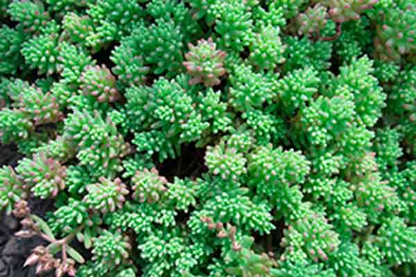 Close-up photo of green sedum plants