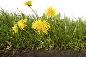 dandelions growing in grass