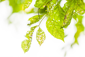 leaves with holes eaten by pests