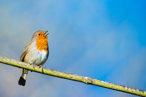 little robin bird singing