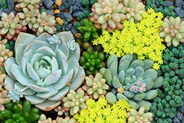 Photo of multicolored miniature succulent plants