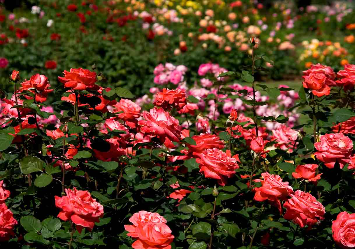 Tending To Rose Gardens Best Pick Reports